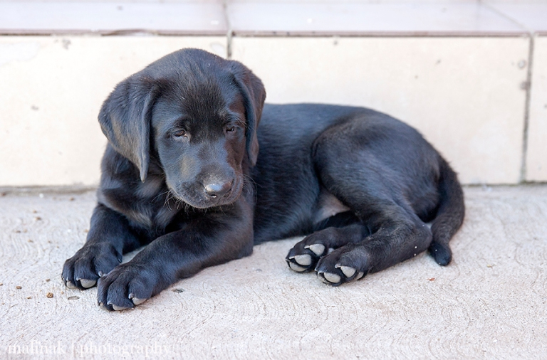 Mosa - Our Little Black Labrador
